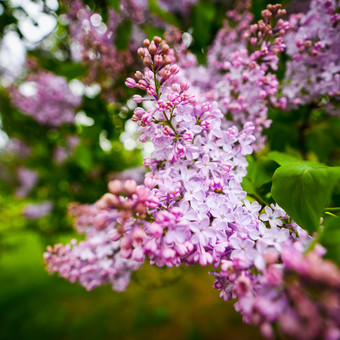 Lilac blossoming in the Park